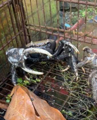 caloge-crabe-tetedwet